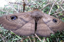 Owl or Moon Moth, Richmond