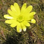 An Early Flowering Mountain Buttercup