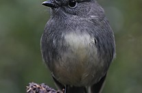 South Island Robin, Lake Rotoroa