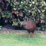 The Weka Inspecting the Home Garden.