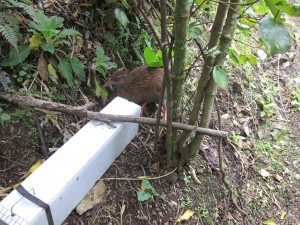 Weka trying to get into a rat trap.