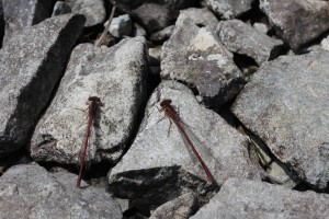 Red Damsel Flies.