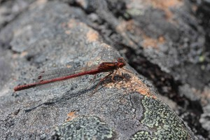 Red Damsel Fly.